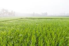 Деревья в полях риса в утре Стоковое фото RF