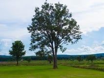 Деревья в рисе Стоковые Изображения RF