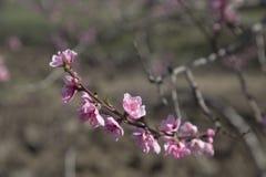 Деревья в розовых цветках весной Стоковое Фото