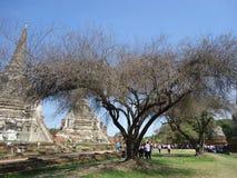 Деревья в руинах столицы Таиланда Ayutthaya старой Стоковая Фотография