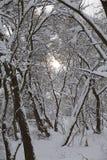Деревья в снежке Стоковые Изображения RF