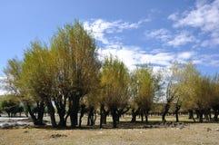 Деревья в Тибете Стоковое Фото