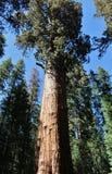 Деревья гигантской секвойи в национальном парке секвойи, Калифорнии стоковые изображения rf