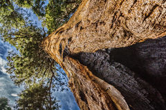 Деревья гигантской секвойи в национальном парке секвойи Стоковые Фото