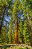 Деревья гигантской секвойи в национальном парке секвойи Стоковая Фотография RF