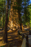 Деревья гигантской секвойи в национальном парке секвойи Стоковое фото RF