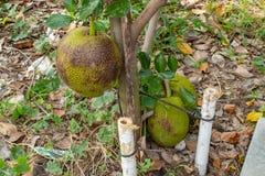 Деревья джекфрута в саде Стоковые Изображения
