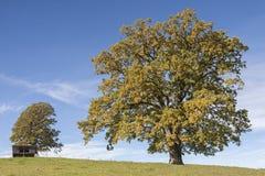 Деревья дуба Стоковая Фотография RF