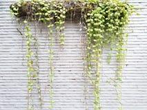 Деревья Дэйв, зеленый цвет выходят смертная казнь через повешение на стену стоковые изображения rf