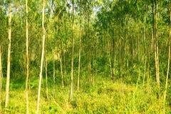 Деревья евкалипта с обеих сторон грязной улицы, деревья евкалипта, 2 грязной улицы Стоковые Фото