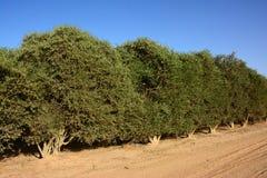 Деревья жожобы Стоковая Фотография RF
