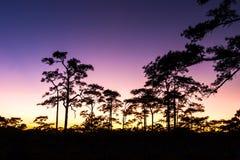 Деревья захода солнца и сосенки Стоковая Фотография