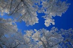 Деревья зимы белые на предпосылке голубого неба Стоковые Изображения