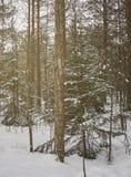 Деревья зимы в лесе Стоковое фото RF