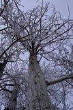 деревья зимы и заморозок Айдахо Стоковые Изображения RF