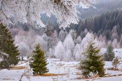 Деревья зимы на предпосылке белизны снега Стоковые Фотографии RF