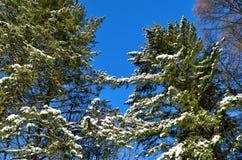 Деревья зимы покрытые с снегом против голубого неба Стоковые Фото