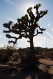 Деревья Иешуа в национальном парке дерева Иешуа, США Стоковое Фото