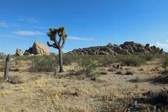 Деревья Иешуа в национальном парке дерева Иешуа california Стоковые Фотографии RF