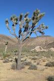 Деревья Иешуа в национальном парке дерева Иешуа california Стоковая Фотография RF