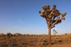 Деревья Иешуа в национальном парке дерева Иешуа california Стоковое Изображение RF