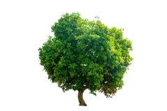 Деревья изолята зеленые на белой предпосылке Стоковая Фотография