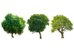 Деревья изолята зеленые на белой предпосылке Стоковые Изображения RF
