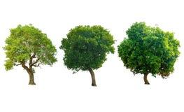 Деревья изолята зеленые на белой предпосылке Стоковое Изображение