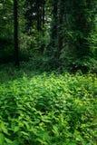 Деревья лиственного леса лета зеленые с крапивами стоковая фотография rf