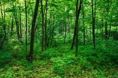 Деревья лиственного леса лета зеленые стоковое изображение rf