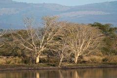 Деревья лихорадки Стоковое Фото