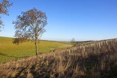 Деревья и деревца золы Стоковые Фото