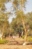 Деревья и живая природа лихорадки в Южной Африке стоковое изображение