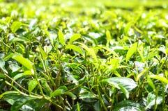 Деревья и листья чая на плантациях в гористых местностях Камерона, Малайзии стоковая фотография