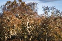 Деревья и лишайник березы Стоковые Изображения