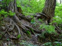 Деревья и корни дерева на холме в лесе стоковое фото