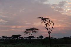 Деревья и птицы silhouetted на восходе солнца Стоковое фото RF