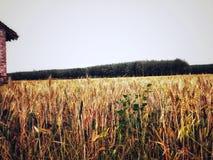 Деревья и пшеничное поле стоковое изображение rf