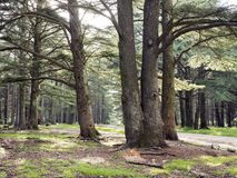 Деревья кедра в cedres des foret приближают к menerbes и bonnieux в зоне Люберона Провансали стоковые фото