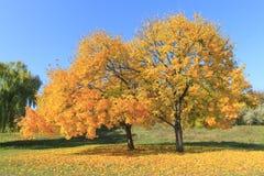 Деревья клена в осени Стоковое фото RF