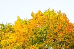 Деревья клена поворачивая красный цвет и желтый цвет Стоковое Изображение