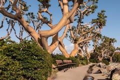 Деревья коралла на испанской посадке в Сан-Диего стоковое фото rf