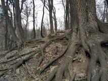 Деревья, корень Стоковые Фотографии RF