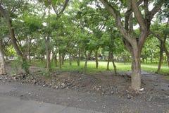 Деревья, который выросли в предпосылках муниципального Hall Matanao, Davao del Sur, Филиппин стоковое изображение rf