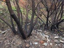 Деревья, который сгорели и сгоренные в лесном пожаре стоковое фото rf