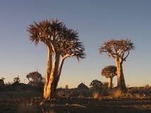 Деревья колчана Стоковое Фото