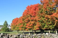 Деревья клена на ферме в Гарварде, Массачусетсе в октябре 2015 Стоковые Изображения