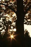 Деревья клена с астеризмом Стоковая Фотография RF