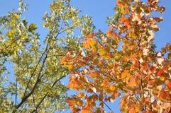 Деревья клена Стоковые Фотографии RF
