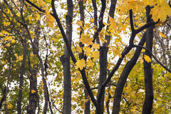 Деревья клена Стоковые Фото